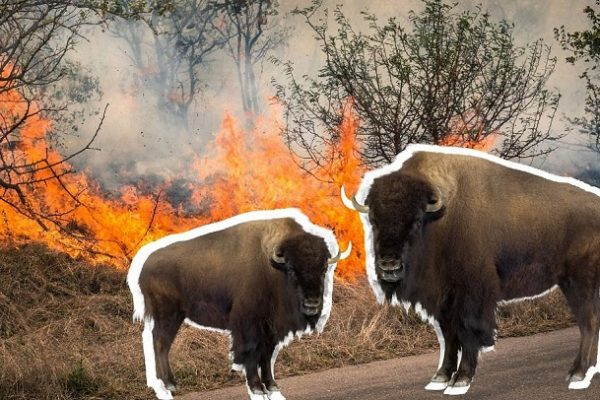 European Bison Could Be The 'Natural Firefighters' That Help Reduce The Risk Of Wildfires