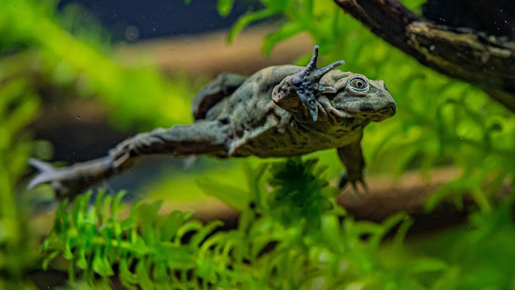 Endangered 'scrotum frogs' to go on display at Chester Zoo for the first time