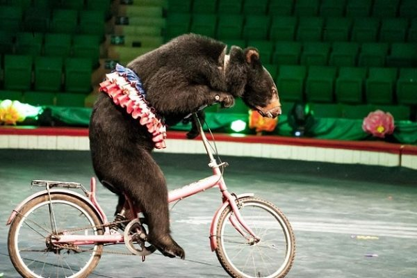 The Last Four Bears Have Been Released From the Humiliating Performance at Hanoi Circus in Vietnam