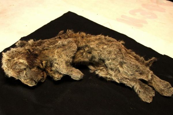 28,000-Year-Old Cave Lion Cub Found Perfectly Preserved in Siberian Permafrost