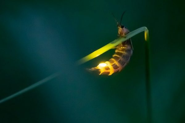 More Than a Million Tourist Traveled to See Firefly's Luminous Displays, And the Result was a Decrease in their Numbers by 80%
