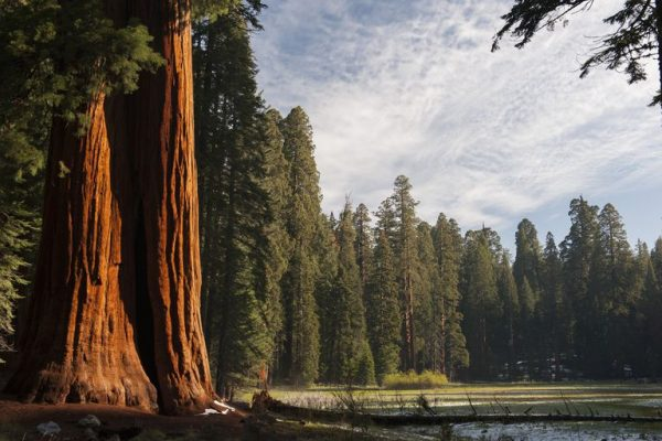 Wildfires Threaten the World's Oldest Trees at Sequoia National Park