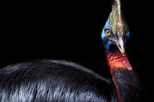 The cassowary, possible first bird raised by humans 18,000 years ago