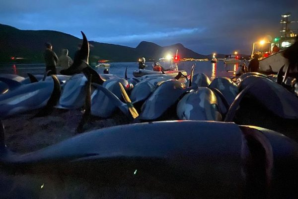 1,500 Dolphins Slaughtered in Faroe Islands Hunt